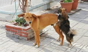 Dog-Heat
