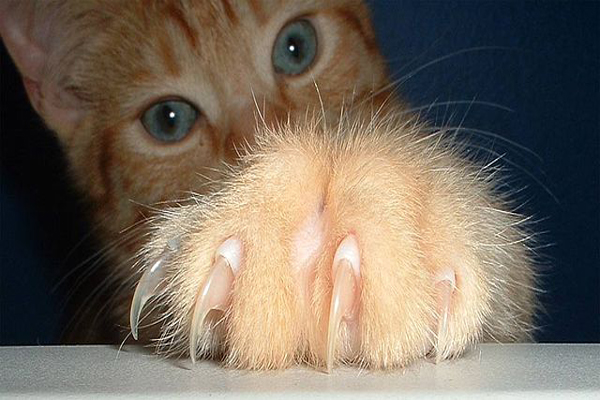 How Much Does It Cost To Declaw a Cat – Cat Declawing Benefits and Cost