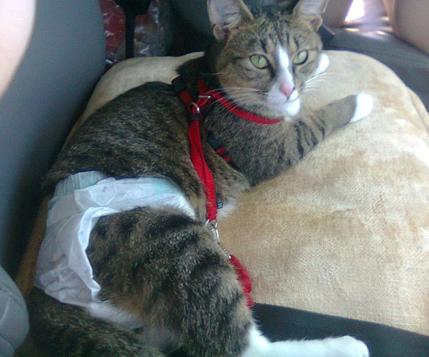 Cat Diapers