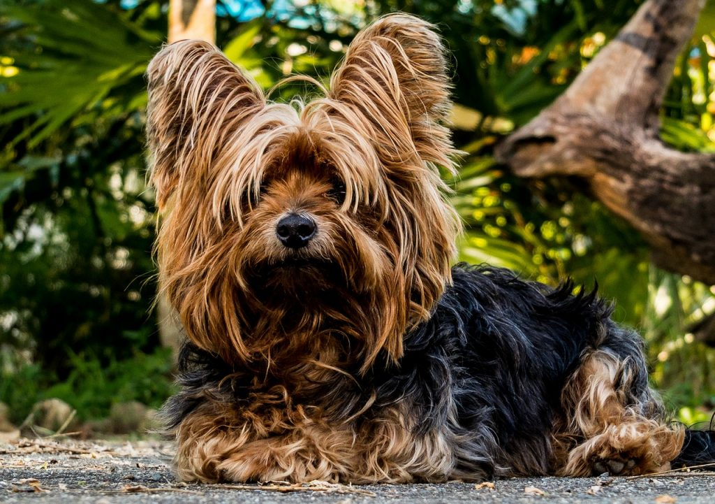 All about Yorkshire terrier dogs