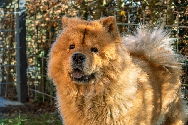 All about the Chow Chow dog breed