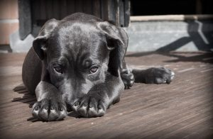 How to Get Rid of Fleas for Dogs