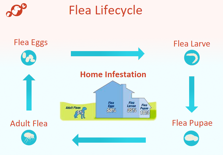 How to Get Rid of Fleas in House? #4 Tested & Proven Methods That WORKS!
