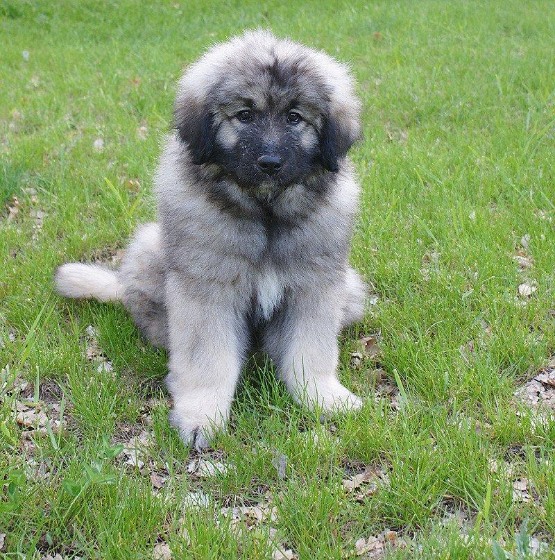 Sarplaninac puppy