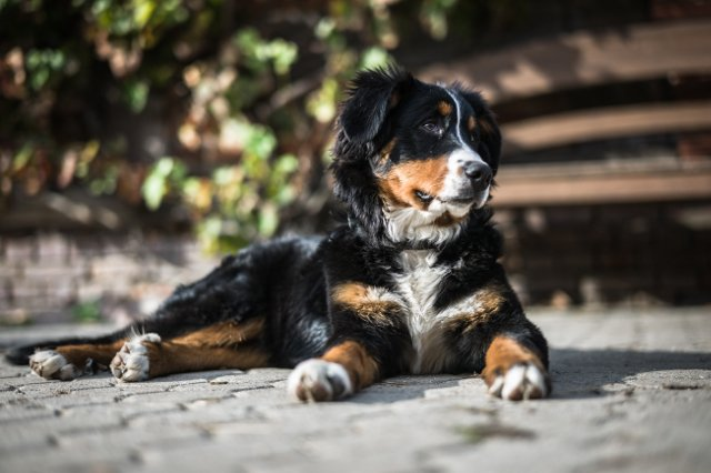 TOP 10 Dog Breeds With The Shortest Lifespan