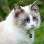 TOP 10 most loyal cat breeds in the world