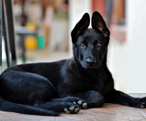 Top 10 black dog breeds