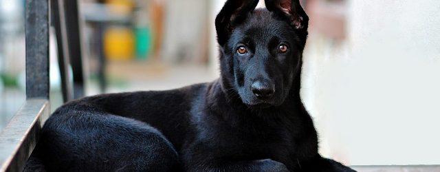 Top 10 black dog breeds