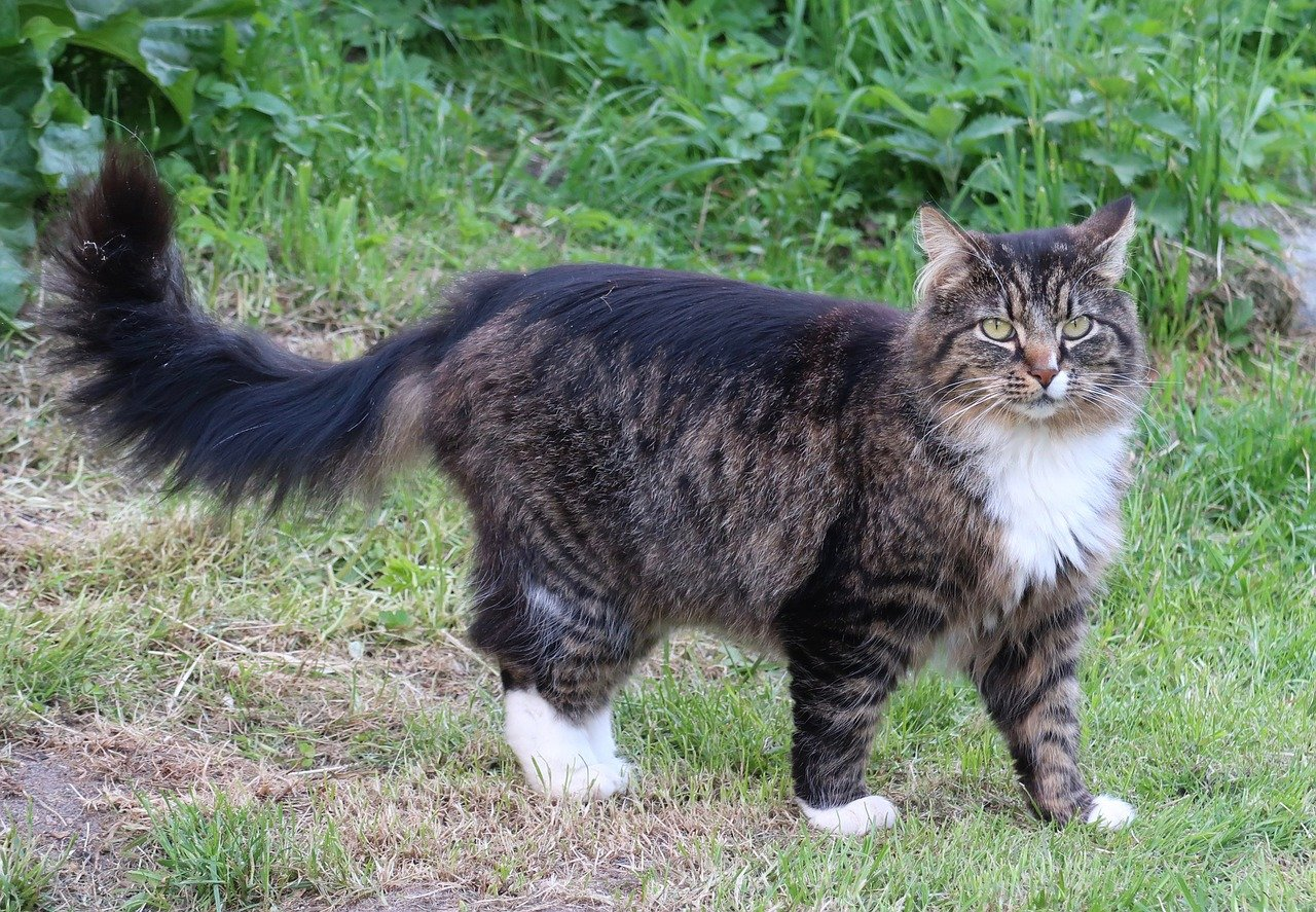 Top 10 most beautiful long haired cats in the world