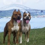 Top 10 most muscular dog breeds in the world